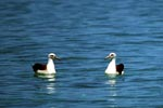 Laysan albatrosses on the sea