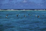 Laysan albatrosses and Blackfooted albatrosses on the sea