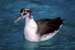 Young Laysan albatross on the sea