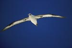 Laysan Albatross glides over the sea