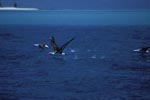 Laysan albatrosses take off from the sea