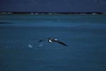 Laysan albatross take off from the sea