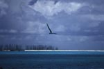 Flying Laysan albatross over the sea