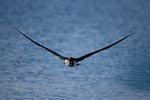 Laysan albatross over the sea