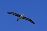 Flying Laysan albatross