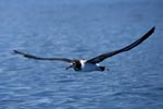 Laysan Albatross over the ocean
