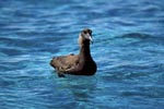 Blackfooted albatross