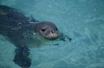 Hawaiian monk seal swims in front of an Pacific atoll