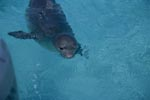 Hawaiian monk seal: an endangered marine mammal