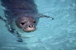 Hawaiian monk seal portrait