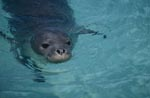Hawaiian monk seals are listed as endangered