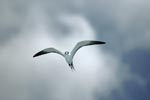 Sooty Tern against white clouds