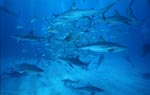 Shark Rodeo - Meeting of Caribbean reffsharks and Blacktip Sharks