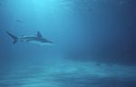 Blacktip glides through the clear water