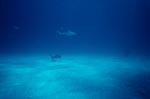 Blacktip shark is approaching a diver