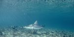 Blacktip shark patrols over vegetated seabed