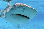 Tiger Shark (Galeocerdo cuvier) close-up picture