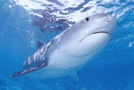 Extraordinary and fascinating: the Tiger Shark