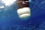 Tiger shark (Galeocerdo cuvier) - the first impression