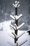 Snowy small tree