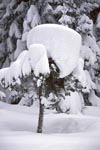 Heavy snow load on small fir