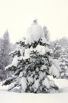 Snow-covered fir tree