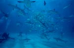 Caribbean Reef Sharks, Blacktipsharks and diver
