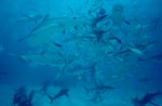 Meeting of Caribbean reef sharks and Blacktip Sharks - Shark Rodeo