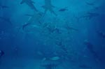 Caribbean Reef Sharks and Blacktipsharks