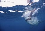 Biting Great White Shark (Carcharodon carcharias)