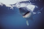 Great White Shark intensive contact (Carcharodon carcharias)