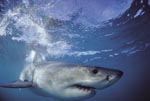 A perfect creation of nature: the Great White Shark