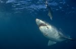 Great White Shark in front of the underwater bait