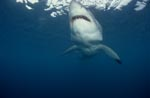 Great White Shark searching for prey