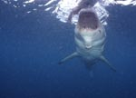 Great White shark before an attack