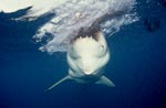 Snapping Great White Shark (Carcharodon carcharias)