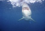 The largest predatory shark: the Great White Shark