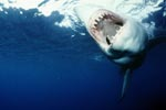 The teeth of the Great White Shark - precise and efficient