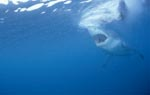 Great White Shark - a seal´s eye view