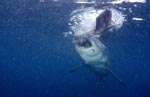 Great White shark tearing pieces off the bait