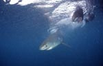 Great white shark baby close to the fish bait