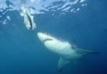 Great White shark looking at the bait