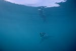 Baby great white shark in the infinity of the ocean