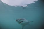 The hunted hunter: the Great White Shark