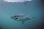 Myth Great White Shark (Carcharodon carcharias)