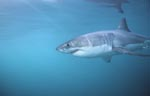 Great White Shark - one of the sea's most impressive predators