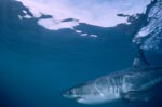 Great White Shark – one of the sea's most impressive predators