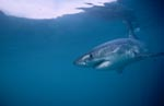 The Great White Shark is an important regulator of the seals of Geyser Rock