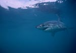 Great White Shark searching for prey directly beneath the water surface