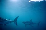 Great White Sharks on patrol (Carcharodon carcharias)